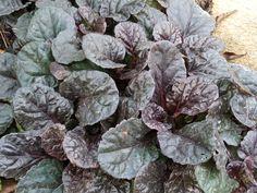 Почвопокровное многолетнее растение для тени/солнца - живучка ползучая Блэк Скэллоп (Black Scallop).