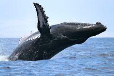 A humpback whale breaches between the islands of Maui andLānaʻi in Hawaii, USA. February 2011 by Gemma Macfarlane
