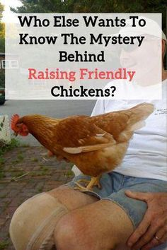 tutorial on How To Raise FRIENDLY Chickens, our suggestions and tips on raising chickens!Free tutorial on How To Raise FRIENDLY Chickens, our suggestions and tips on raising chickens! Types Of Chickens, Raising Backyard Chickens, Keeping Chickens, Pet Chickens, How To Raise Chickens, Urban Chickens, Bantam Chickens, Breeds Of Chickens, Portable Chicken Coop