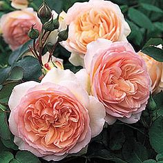 Perdita ® (Ausperd)     Category English Roses     (English Rose Collection)   Bred By David Austin   Color Light Pink   Flower Type Double/Full Bloom   Size Medium Shrub     Hardiness Hardy   Fragrance Strong    Repeating Good   Special Characteristics Won the R.N.R.S Henry Edland medal for fragrance     Perfect rosette-shaped flowers quartered at the centre and of delicate apricot-blush colour. The growth is strong and bushy with polished, deep green foliage. Good disease-resistance and…