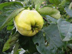 quittenkuchen Honeydew, Pear, Flora, Apple, Plants, Apple Fruit, Apples, Bulb