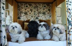 """Dora, Hercule, Bess, and Henriette These Shi Tzus live in the lap of luxury and interior designer Robert Couturier wouldn't have it any other way. Dora's story of rags to rescue was featured on the ASPCA blog. Likes: Dora, 3, likes sunshine, catching a ball, running in the grass trying to catch butterflies. Hercule, 7, adores Dora and follows her around the garden. Bess, 10, likes to be spoon-fed and to be carried for her walks. Henriette, 13, the """"Queen"""" likes nothing better to sleep on…"""