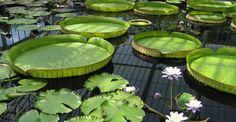 Bassin de jardin agrémenté de nénuplars. © T3W CS - Domaine public