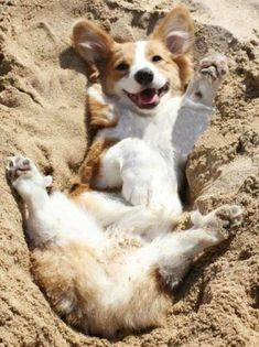 Just like  a corgie.relaxing in mud or dirt,why I don't know.cute tho.
