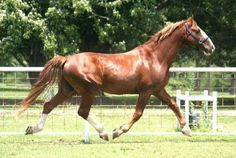 Frederiksborger is Denmark's oldest horse breed. They were tremendously popular throughout the Renaissance and Baroque periods and were considered luxury items.