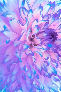These colors to brighten things up Planting Flowers, Flowers Garden, Dahlia Flower, Purple Dahlia, Pink And Purple Flowers, Pink Blue, My Flower, Periwinkle, Flower Beds