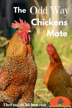 I think you'll be surprised how chickens mate. But did you know it can effect the health of your hens, too?