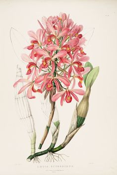 "Laelia superbiens, a species named by John Lindley. It was included in the genus Schomburgkia, but now again in genus Laelia. This hand-retouched chromolithograph after a drawing by Miss S. A. Drake (fl. 1820s-1840s), is from James Bateman (1811-1897): ""The Orchidaceae of Mexico and Guatemala"","