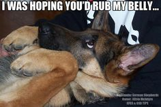 Klaus gives us the same look :-) Of course, he gets his belly rubbed! belly rub please #german #shepherd