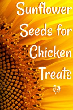 Sunflower seeds for chickens - Pin for later. Chicken Roost, Chicken Feed, Pet Chickens, Backyard Chickens, Growing Sunflowers, Chicken Coup, Chicken Treats, Backyard Greenhouse, Sunflower Seeds