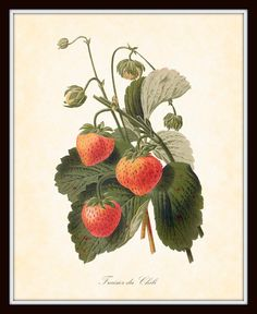 Antique Botanical Art Print French Fruit Series by BelleBotanica, $10.00