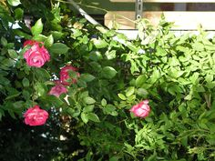 Rose- 2004 - OLYMPUS OPTICAL CO.,LTD