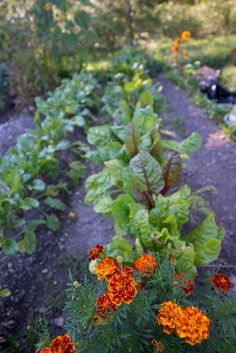 Companion vegetable plants can help each other when planted near each other. Creating a companion vegetable garden will allow you to take advantage of these beneficial relationships. Click here for more.