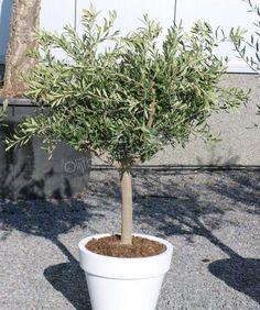 Olive Tree, Garden Inspiration, Garden Design, Cactus, Home And Garden, Yard, Plants, Grill Restaurant, Outdoor