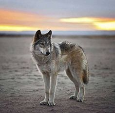 I love wolves, because they're close to my soul. Their mystery... ❤❤❤