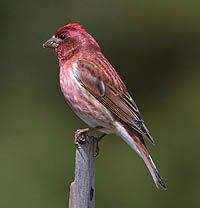 Purple Finch - male -  ... has a plumper body with a fairly large head and short, conical bill. (Pacific birds have larger bills similar to Cassin's.) The tail is shorter and deeply notched, and birds in certain postures show a peaked crown.