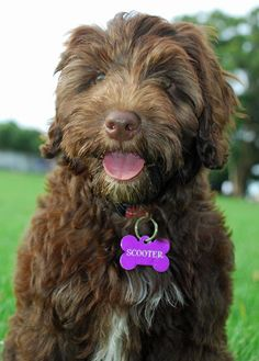 Love this Breed! Portuguese Water Dog. So intelligent, Fun loving and they don't shed!