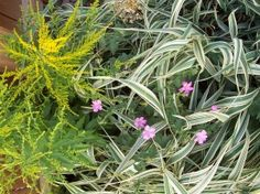 Ribbon Grass Information: Tips For Growing Ornamental Ribbon Grass