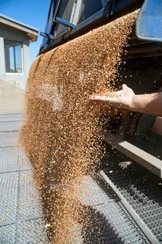 How Grains are Processed for Horses - TheHorse.com | Here's what happens to processed grains as the make their way from the field to your horse's feed bucket. #horses #grains #feedinghorses