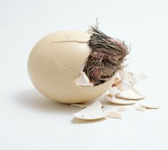 Ostrich (Struthio camelus) chick emerging from egg shell