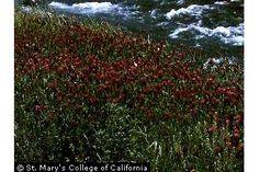 Crimson clover - Trifolium incarnatum - for raised bed coverage in winter