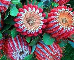 """Banksia """"Coccinea"""" -  A family of 76 species native to South Western Australia which was named after Sir Joseph Banks who first collected these plants in 1770.  Cylindrical, brush like flower heads can range from 5 to 30 cm long and 6 to12 cm wide. Flowers are typically orange or yellow in hue."""