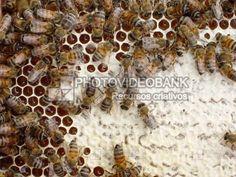 Abelhas favo colmeia | PHOTOVIDEOBANK Imagem abelhas favo colmeia, fotografia de abelhas operárias nas células do favo fazendo mel, tiro macro de abelhas trabalhando na colmeia imagens de apiário e apicultura.