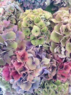 Hydrangea, fresh-Antique  colors