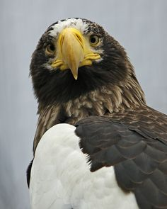 Steller's Sea Eagle - The Cincinnati Zoo & Botanical Garden Harpy Eagle, Bald Eagle, Eagle Feathers, Bird Feathers, Steller's Sea Eagle, Eagle Animals, Eagle Face, Cincinnati Zoo, Birds Of Prey