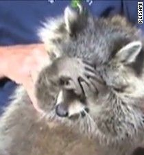 http://www.cnn.com/video/data/2.0/video/living/2013/08/02/orig-distraction-raccoon-covers-his-eyes.youtube-petsami.html