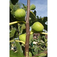 Velké slaďoučké fíky si lze vypěstovat i u nás. Poradím vám, jakou si vybrat odrůdu, kdy stříhat, hnojitči zimovat. Celkově jsem se v článku trochu rozepsal, ale třeba to pár fíkovým nadšencům pomůže a nebudou pak muset pracně nabývat zkušenosti jako já. Pear, Pergola, Gardening, Apple, Fruit, Outdoor, Image, Advent, Gardens