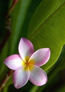 Making a frangipani perfume