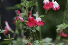 best Salvias (sage) to grow in Houston: Anise/Brazilian sage, 'hot lips', Bog, Mealy cup, sinaloa , autumn sage, Tropical, Mountain, Forsythia, Mexican bush