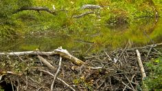 Beavers' dams flood and kill trees. Once beavers exhaust the food resources at a site, they move on to the next one. The flooding then subsides and the forest begins to grow again. Photo © Paul / Flickr through a Creative Commons license