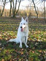 berger blanc suisse dog photo | ... vues Berger Blanc Suisse white shepherd dog wallpaper chien animal