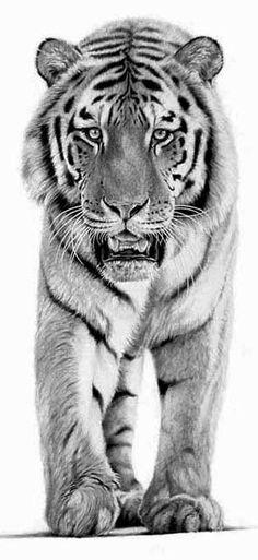 Tigre de bengala en blanco y negro