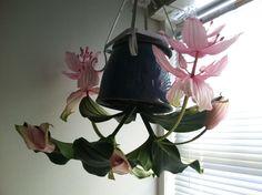 A Medinilla Plant