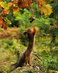 """Uh...gosh dangit...can't quite...reach it...but ah...Oh! I'm...almost...THERE!""  Justa squirrel, trying to getta nut. Or two!! #Autumn #life #squirrel"