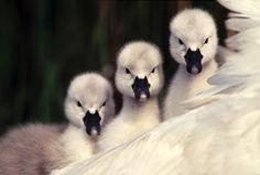 fairy-wren:  Mute Swan Cygnets. Photo by Flip de Nooyer