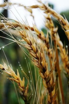 Lammas (or Lughnasadh) occurs in late July and early August. It marks the beginning of the harvest. It's the first of three harvest festivals and is usually associated with ripening grain. It heralds the coming of Autumn. Country Life, Country Living, Foto Macro, Fields Of Gold, Fotografia Macro, Wheat Fields, Down On The Farm, Felder, Farm Life