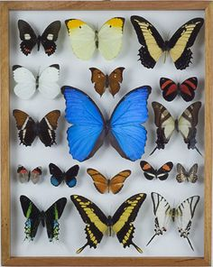 I realy like the old butterfly collections... might make one my self... not with real butterflies... perhaps in paper?