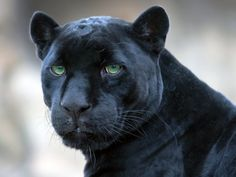 """Black Panther   Black Panther   Great Cats of the """"World"""""""