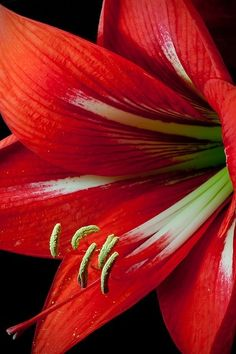 red---A most beautiful flower--wish they would last forever!