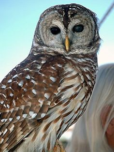 barred owl - Google Search