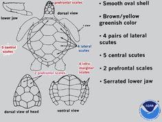 Green sea turtle ID guide