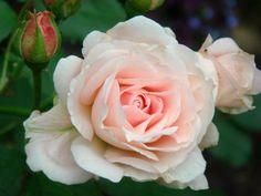 Beautiful hardy roses!