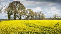 Oilseed-rape-field-©FLPA-Rex-Shutterstock-615x346.jpg (615×346)