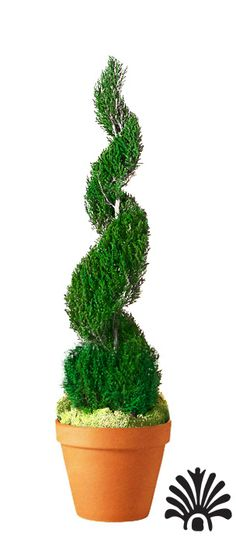 Entry Classic Spiral Topiary - 40""