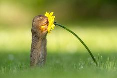 Dutch photographer Dick van Duijn was visiting Vienna, Austria, in June when he captured an adorable series of photos showing a squirrel taking a moment out of its busy day to smell the flowers. Vida Animal, Ground Squirrel, Smelling Flowers, Surviving In The Wild, Colossal Art, Special Flowers, Banksy, Landscape Photographers, Yellow Flowers