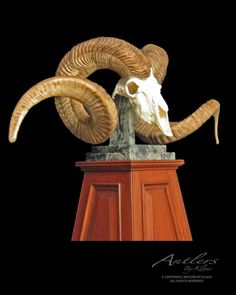 "Marco Polo Sheep Replica $3000 | Antlers By Klaus horns measure 70 4/8"" and 69 4/8"" each!"